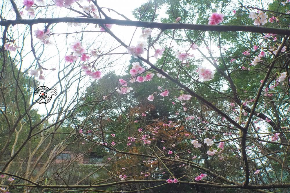 大板根森林步道櫻花